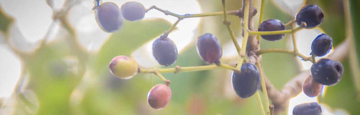 Der Jambulbaum ist eine Heilpflanze die bei Diabetes helfen kann.