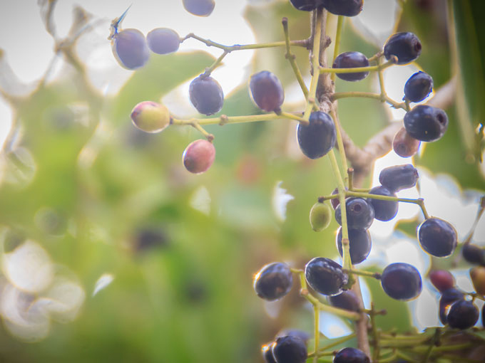 Früchte des Jambulbaums die als Wirkstoff gegen Diabetes genutzt werden.