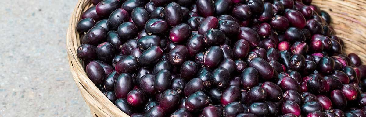 Die rötlich bis schwarz gefärbten Früchte des Jambulbaums sind essbar.