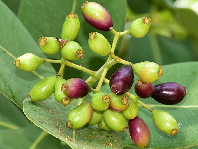 Eine der Hauptinhaltsstoffe von Glycowohl: Die Früchte des Jambulbaumes.